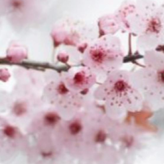 Japanese Cherry Blossoms  by Maddison Avenue Candle Company