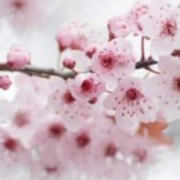 Japanese Cherry Blossoms  by Scented Nest Candle Making Supply Company