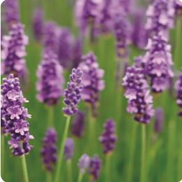 Lavender Fields by Scented Nest Candle Making Supply Company